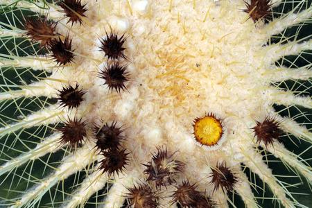 acuminate: A Cactus Texture green background Stock Photo