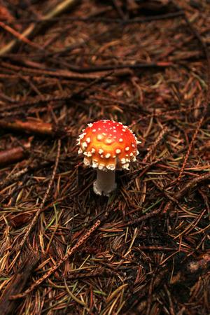 amanita: amanita muscaria Stock Photo