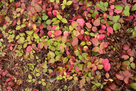 paling: autumn-colored leaves forest wild blackberries
