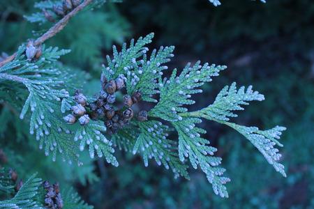 frosty: Frosty Needles Stock Photo