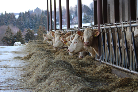 fresian: Housing cow in a cowshed hay