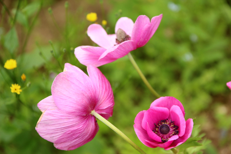 commercial medicine: pink blooming poppies Stock Photo