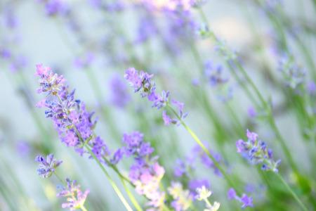 lavande: beautifully flowering lavender
