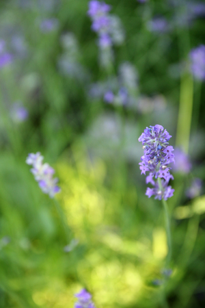 lavande: beautifully flowering lavender