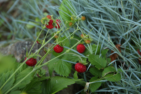 forestry: Forestry strawberries