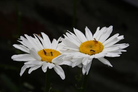 breezy: Nice marguerites with dark background Stock Photo