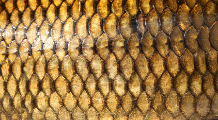 fish scales: Fresh carp fish scales texture Stock Photo