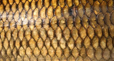 escamas de peces: pescados de la carpa fresca textura escalas