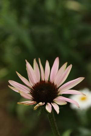 purpurea: Echinacea purpurea Stock Photo