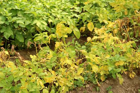 ows: potato field Stock Photo
