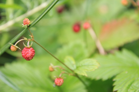 Wild strawberry in forest. Macro shot, focus on foreground. Stock Photo