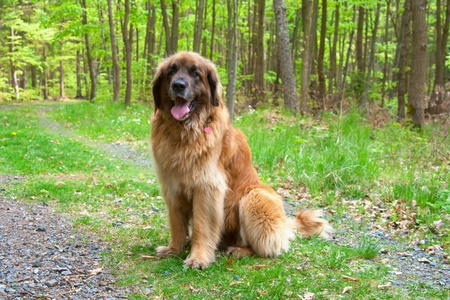 Leonberger dog  giant breed  sitting in forest