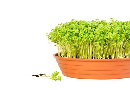 berros: Berros verde fresco en una olla redonda y plántulas adicionales con las raíces, vista frontal y aislados en blanco