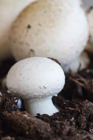 Growing button  field  mushrooms in soil Stock Photo