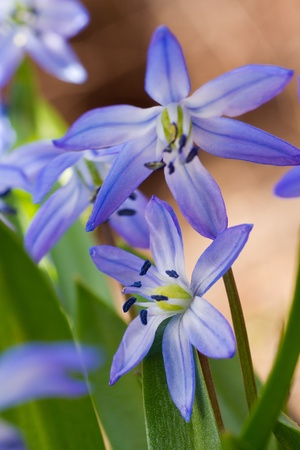 Close-up of early spring bulb flower squill  scilla sibirica , focus on lower blossom Stock Photo