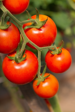 eat the plant: Ripe garden tomatoes ready for picking closeup Stock Photo