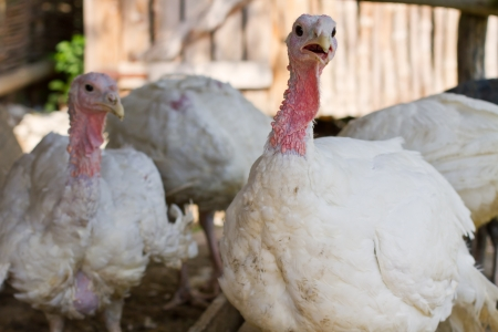 White turkeys feeding in a barnyard photo