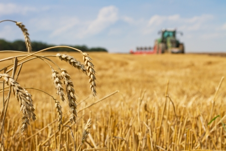 Last straws on field after harvest and tractor plowing, focus on ears of wheat
