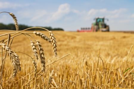 Laatste rietjes op het veld na de oogst en de tractor ploegen, focus op oren van tarwe