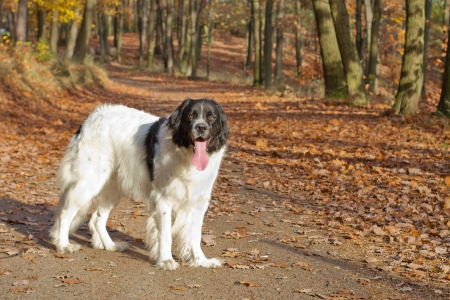 Landseer dog  giant breed  standing in an autumn forest Stock Photo