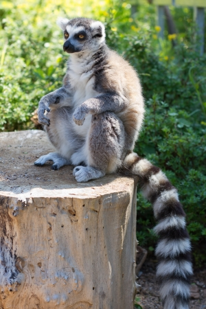 tailed: Ring tailed lemur  lemur catta  posing and relaxing