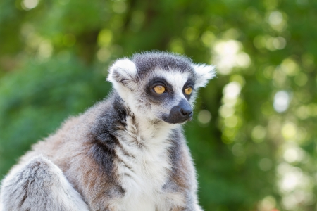 ring tailed: Ring tailed lemur  lemur catta  posing and staring