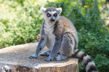 Ring tailed lemur  lemur catta  posing and relaxing