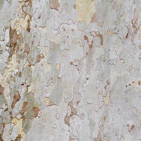 Natural plane tree bark abstract background Stock Photo