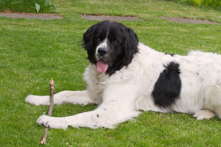trusty: Landseer dog lying in a garden and playing and holding a branch Stock Photo