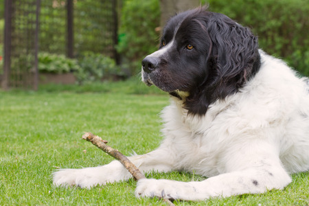 black and white newfoundland dog: Landseer dog lying in a garden playing and holding a branch