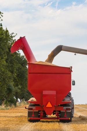 cosechadora: Detalle de una parte de la carga de la cosechadora remolque de un tractor agr�cola con los granos de cereal de oro. Foto de archivo