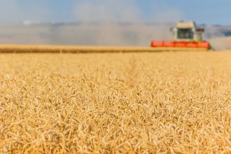 cosechadora: O�dos de oro del trigo listos para ser cosechados por una cosechadora. Enfoque selectivo en espigas de trigo. Foto de archivo