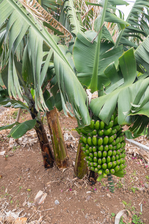 Growing a bunch of bananas on a banana plantation