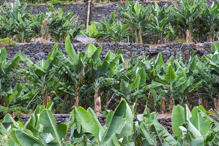 Banana trees on terraced plantation in Madeira island Stock Photo