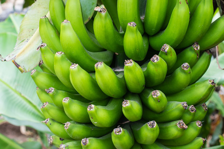 Detail of a bunch of small bananas growing on a banana tree