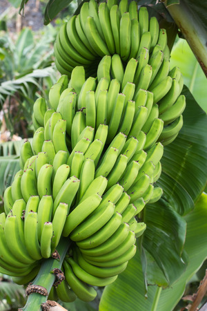 bunch of: Detail of a bunch of small green bananas growing on a banana tree