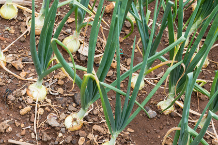 Detail of growing young onions in rows in a rocky field