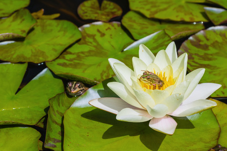 Small green frog (Perezs frog) sitting in a white waterlily blossom in a pond. Selective focus on the blossom and the frog on right.
