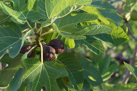 fig tree: Fig fruit growing on a branch of a fig tree Stock Photo