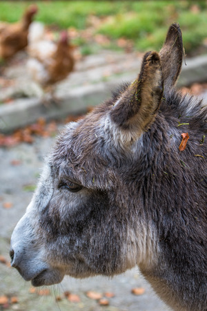 Donkey - side close up portrait