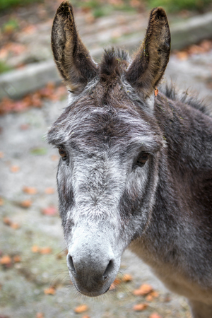 Gray donkey close up portrait