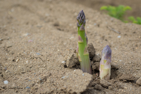 Green asparagus stems growing in field