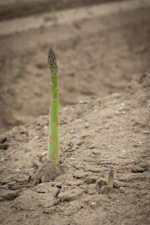 Growing green asparagus in field