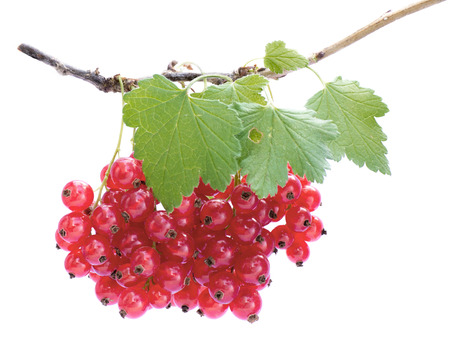 Twig with a bunch of red currants and leaves, fresh pick