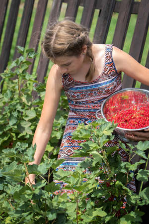 Young teenage girl picking ripe red currants in a garden on a sunny day Stock Photo