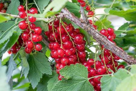 Ripe red currant berries growing on a bush - close up