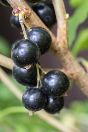 Close up of black currant berry growing on a bush Stock Photo
