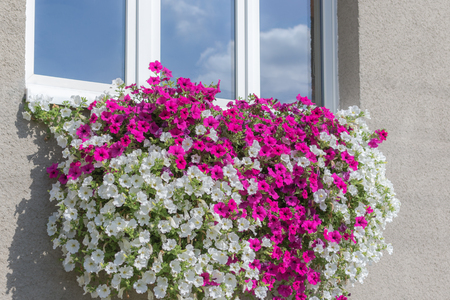 Wall mounted hanging basket under window with trailing vibrant white and pink surfinia flowers