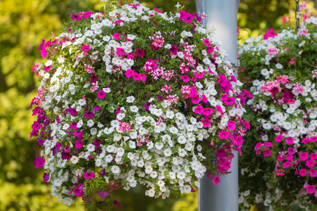 deatil: Deatil of a large and beautiful hanging basket pots with blooming vibrant pink and white petunia, surfinia and geranium flowers