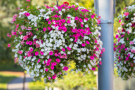 Large and beautiful hanging basket pots with blooming vibrant pink and white petunia, surfinia and geranium flowers Imagens